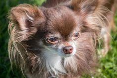 chihuahua dog / types of chihuahuas