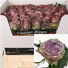Dolcetto Roses - 2018 Wedding Trend: Ultra Violet Purple. For lilac and purple wedding flowers to suit your colour scheme, visit our website at www.trianglenursery.co.uk/fresh-flowers!