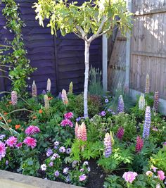 Lupin border under a young tree, great triangle bed for the corner of a garden