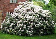 serviceberry tree image amelanchier alnifolia deciduous. Black Bedroom Furniture Sets. Home Design Ideas