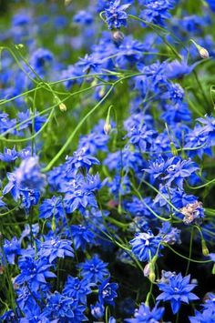 Detailed description of the Native Bluebell (Wahlenbergia stricta) 'Blue Mist' cultivar/variety. Australian Wildflowers, Australian Native Flowers, Australian Plants, Australian Bush, Cottage Garden Plants, Garden Shrubs, Cottage Gardens, Green Garden, Bell Gardens