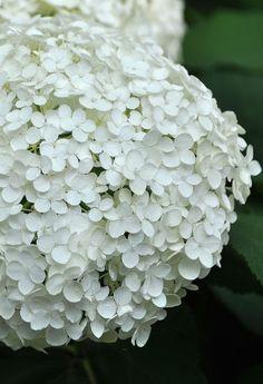 Late Summer Flowers - Hydrangea