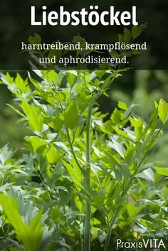 Liebstöckel lindert Entzündungen der Harnwege The antispasmodic effect of lovage is proven. It relieves inflammation of the urinary tract and prevents urinary distress. Diy Herb Garden, Edible Garden, Green Superfood, Moisturizer For Dry Skin, Medicinal Herbs, All Plants, Herbal Medicine, Herbal Remedies, Gardening Tips