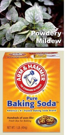 To control powdery mildew, add 1 tablespoon of baking soda and 1 to 3 teaspoons of horticultural oil to 1 gallon of water. Spray both sides of affected leaves once a week.