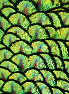 Close-up of the iridescent green feathers on the upper back of a Peacock [Pavo cristatus]; by Michael Fitzsimmons on 500px