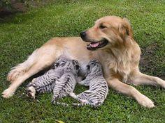 Auch verwaiste Tigerbabys brauchen eine liebevolle Mutter, findet diese liebevolle Hundedame