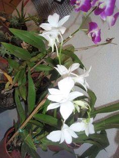Muda De Denphal Branco Com Flores 35,00