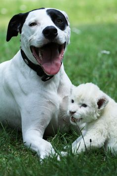 A Dog Adopts A Baby White Lion Cub And (shocker) It's Adorable. You now need to hug something or you may burst into spontaneous tears tomorrow.