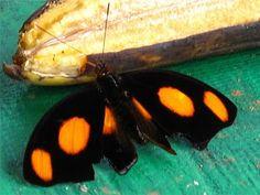 Catonephele numilia penthia | Tudo Sobre Borboletas