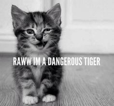 A cute little kitty rawr . little kitty with a soul of a lion. Baby Animals, Funny Animals, Cute Animals, Wild Animals, Cute Kittens, Cats And Kittens, Crazy Cat Lady, Crazy Cats, Animal Pictures