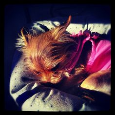 This evening outside as the sun was going down. She is sound a sleep in her bed. #yorkie mix #chorkies #spoiled #rotten #puppy #evening #sleepanywhere #sleeping #sunset #camera360 #instagram #teamandroid (: - @jovichic- #webstagram