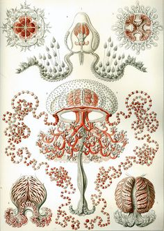 Lithograph by Ernst Haeckel and Adolf Giltsch Plate 46 from Kunstformen der Natur. This is one of the 100 pop science biology illustrations that were published from 1899 – 1904 in Leipzig by Ernst Haeckel through Verlag des Bibliographischen Instituts. Science Illustration, Illustration Plate, Illustration Botanique, Poster Digital, A4 Poster, Poster Prints, Art Prints, Digital Collage, Digital Art
