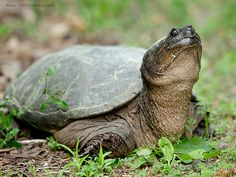 snapping+turtles | Snapping turtle