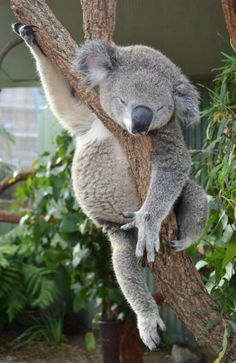 "Sleeping Koala (Phascolarctos cinereus).   (""496."")      Google search:  ""The Koala has 5 digits on their front paws, two of which are opposable (this would be like a human having 2 thumbs).pbs.org."""