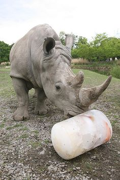 Rhino Enrichment | Animal Enrichment | Dublin Zoo