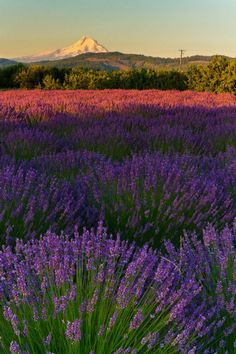Lavender Valley Fields, Oak Grove, Oregon, South of Hood River by Gregory. Not only in France do you find lavender fields! Beautiful World, Beautiful Places, Color Lavanda, Lavender Fields, Lavander, Lavender Garden, Lavender Flowers, Exotic Flowers, Wonders Of The World