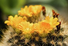 Cactus with Yellow Flowers Copyright © C.Stefan (ArtStudio29) #cactus #yellow #flowers #photo #photograph #photography #parodia #Chrysacanthion #macro #closeup