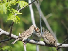 Three birds sharing food.