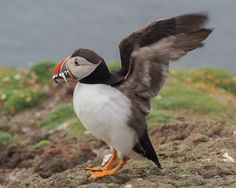 Atlantic Puffins of Fair Isle-03.jpg