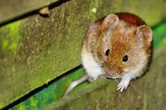 Vole Control Identification of Voles and Getting Rid of Them