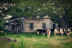 abandoned house surrounded by cows