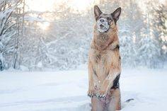 I LOVE SNOW!!!!!!! #germanshepherds #pets