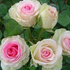 Garden Spray Rose Mimi Eden