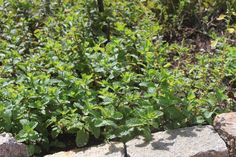 Canteiro das mentas ©Sabor de Fazenda Flowers, Plants, Outdoor, Gardening, Diy, Growing Mint, Raised Vegetable Gardens, Herb Garden, Planting Flowers