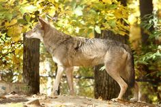 Red Wolves at Land Between the Lakes Woodlands Nature Station Baby Wolves, Red Wolves, Coyote Hunting, Archery Hunting, Saltwater Fishing, Kayak Fishing, Land Between The Lakes, Deer Hunting Blinds, Beautiful Wolves