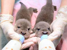 <台湾>ふわふわ… カワウソの双子の赤ちゃん保護