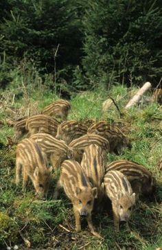Baby wild boars, I believe.  Jabalis por toda España