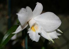 disa longicornu | Des Dendrobium aux Eulophia - Association Auboise d'Orchidophilie ...