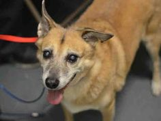 SUPER URGENT 11/30/14 Brooklyn Center PEREZ - A1021978 MALE, TAN / WHITE, AUST CATTLE DOG MIX, 9 yrs OWNER SUR - EVALUATE, NO HOLD Reason PERS PROB Intake condition EXAM REQ Intake Date 11/30/2014, From NY 11237, DueOut Date 11/30/2014, https://www.facebook.com/Urgentdeathrowdogs/photos/pb.152876678058553.-2207520000.1417396346./914340745245472/?type=3&theater
