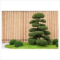 Cloud-pruned Ilex crenata, Buxus sempervirens balls and bamboo fence in the Japanese themed garden
