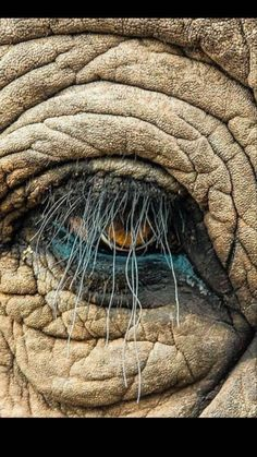 Elephant eye — Reminds me of Snuffaluffagus from Sesame Street 😊 Elephant Eye, African Elephant, African Animals, Elephant Stuff, Elephant Photography, Animal Photography, Beautiful Creatures, Animals Beautiful, Photo Oeil