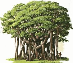 banyan tree pictures | Arthur's tree clipart Page 1