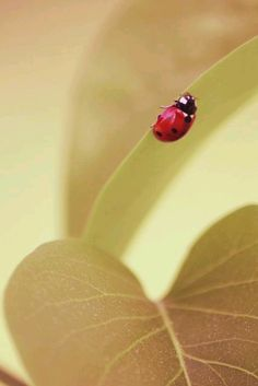 Lady Bug, Cool Insects, Lucky Ladies, Fb Covers, Love Bugs, Black Spot, Close To My Heart, Beautiful Butterflies, Insects