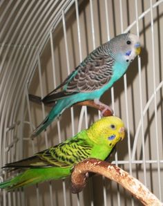 Want to train your parakeet to talk?  HERE'S HOW!