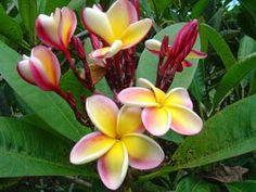 http://www.cultivando.com.br/plantas_detalhes/jasmin_manga.html  Nome popular: Jasmin-manga; Frangipane; Árvore-pagode.  Nome científico: Plumeria rubra L.   Família: Apocynaceae.  Origem: América Tropical.