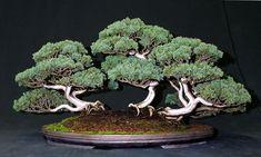 rosemarybonsai   Bonsai tree: semicascade Rosemary, Shimapku forest, Mugo Pine ..