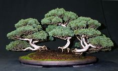 rosemarybonsai | Bonsai tree: semicascade Rosemary, Shimapku forest, Mugo Pine ..