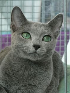 Russian Blue Cat History Click the picture to read. I want one of these too!!! So pretty....just need another good coffee-themed name!