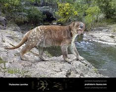 Marsupial lion (Thylacoleo carnifex) Prehistoric Wildlife, Prehistoric World, Prehistoric Creatures, Animals For Kids, Animals And Pets, Animal Science, Extinct Animals, Animals Images, Fauna