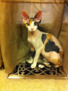 Calico Sphynx; Emma | Our Children Have 4 Paws | Pinterest | Sphynx
