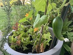 Hochbeet im Kübel, darüber wachsen Pflücksalat, Zucchini und eine Snack-Gurke