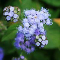 Purple and Blue Hawaiian Flowers - Ageratum spp. – Ageratum
