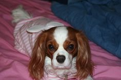 Cavalier King Charles Spaniel in her pajamas!   How to Keep Your Dog Warm in The Winter http://twolittlecavaliers.com/2015/01/keep-dog-warm-winter.html