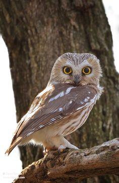 }{  Northern Saw-whet owl by David Spieser