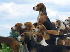 pack o beagles ...........click here to find out more http://googydog.com