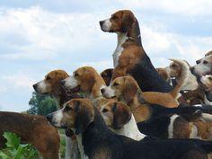 pack o beagles--I call them a gaggle.